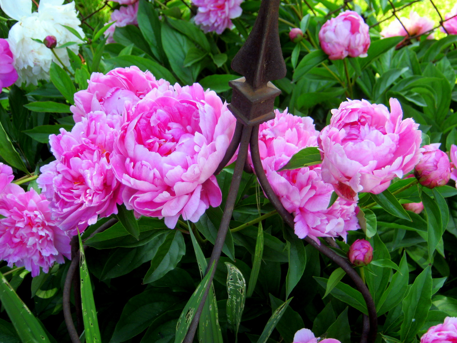 the lazy gardener blooming in the garden pink peonies
