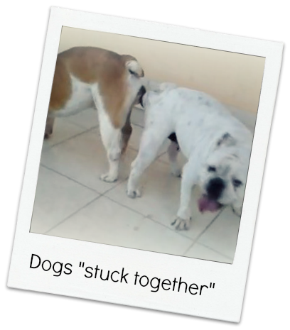 STEPHANIE IKOLO's Blog: Curious: why do dogs gets stuck when mating