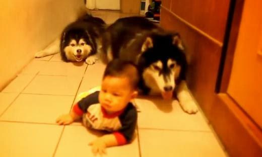 Perros,bebé,gatear