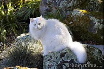 Foto Kucing Anggora 06