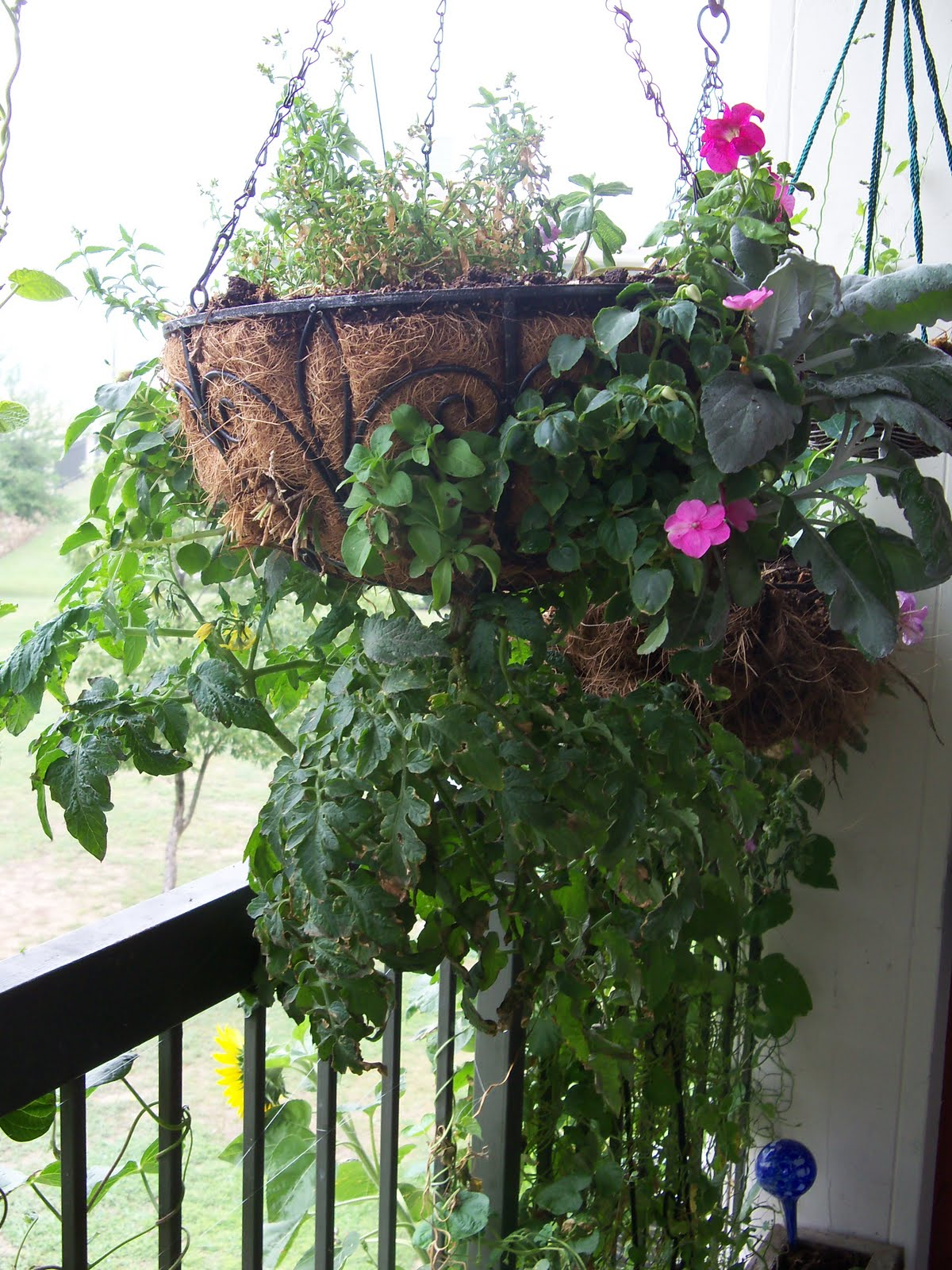 My Largest Hanging Basket With My Upside Down Tomato Plant, Dusty Miller  And Annual Flowers.