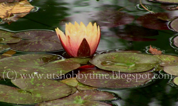 orange water lily photos