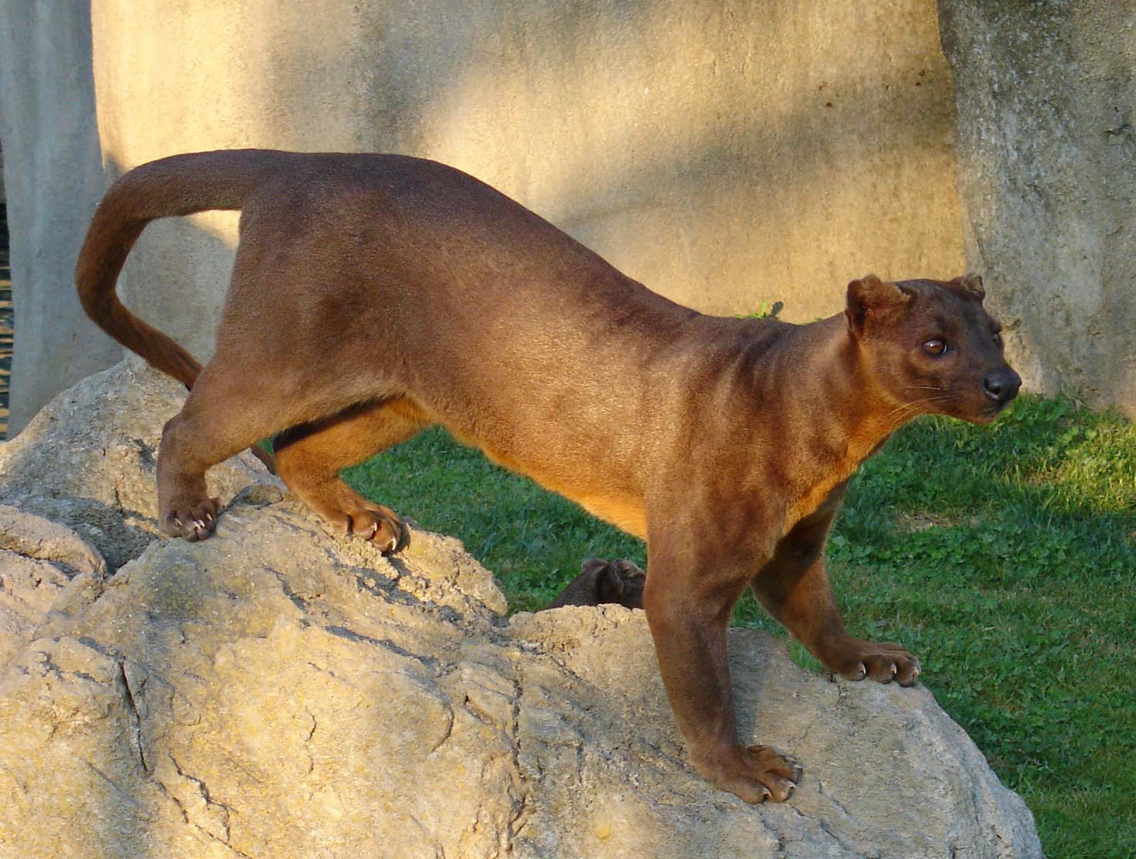 Animals You May Not Have Known Existed - The Fossa