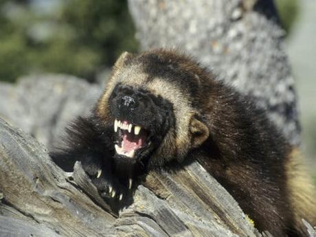 wolverine animal wildlife. Black Bedroom Furniture Sets. Home Design Ideas