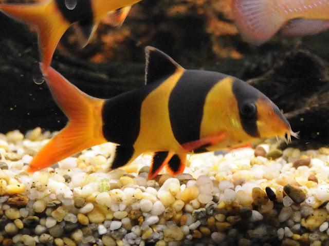 Botia ikan hias air tawar