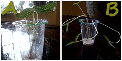 kacang hijau di tempat kering b tumbuhan kacang hijau di tempat lembab ...