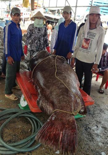 Sóc Trăng: Bắt được cá mú khổng lồ nặng 250kg