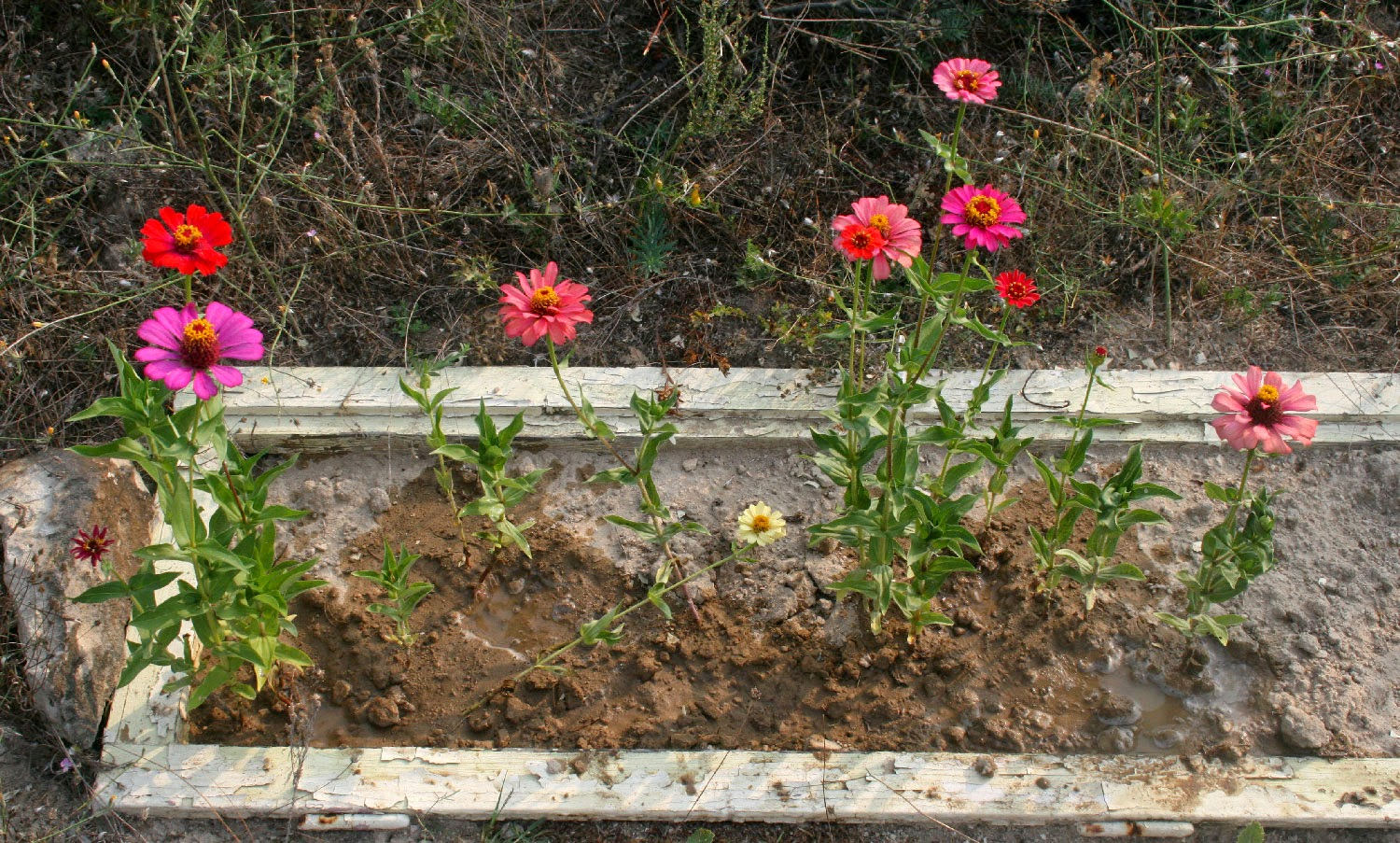 Most of the Zinnias now bloomed