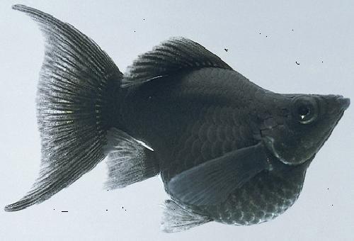 We next aquarium fish molly for Balloon molly fish