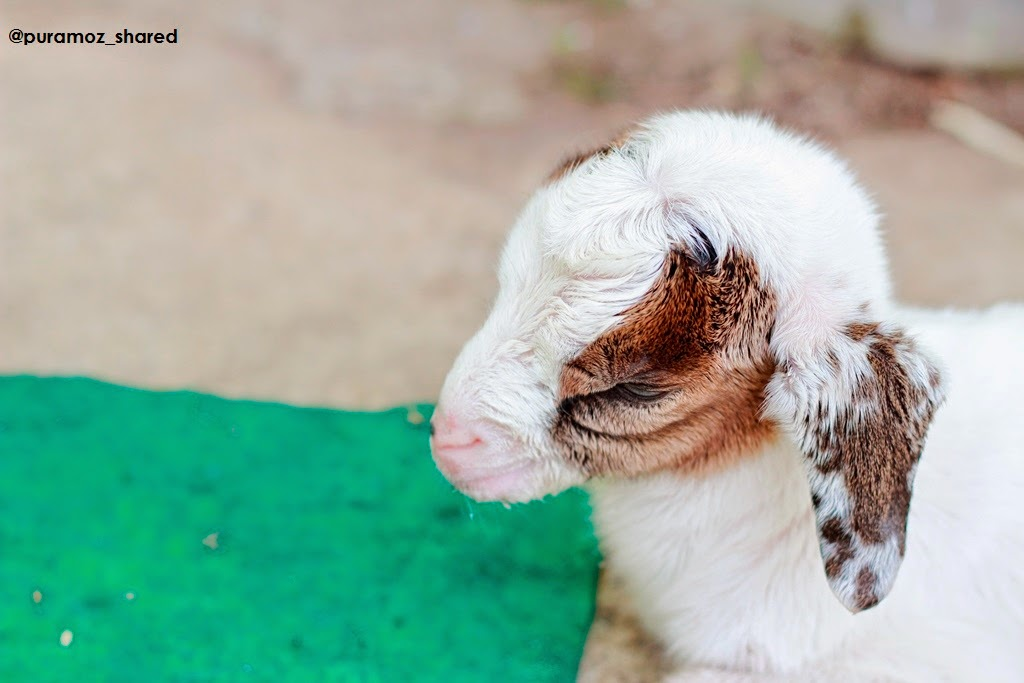 Foto Gambar Anak Kambing Lucu Narsis