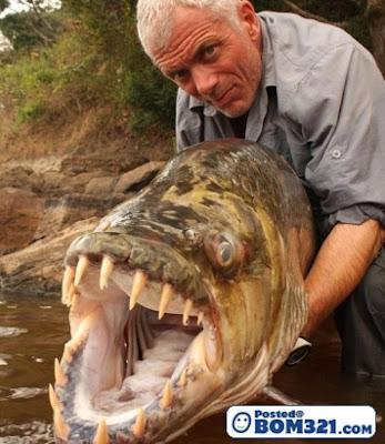 Ikan Harimau tiger fish