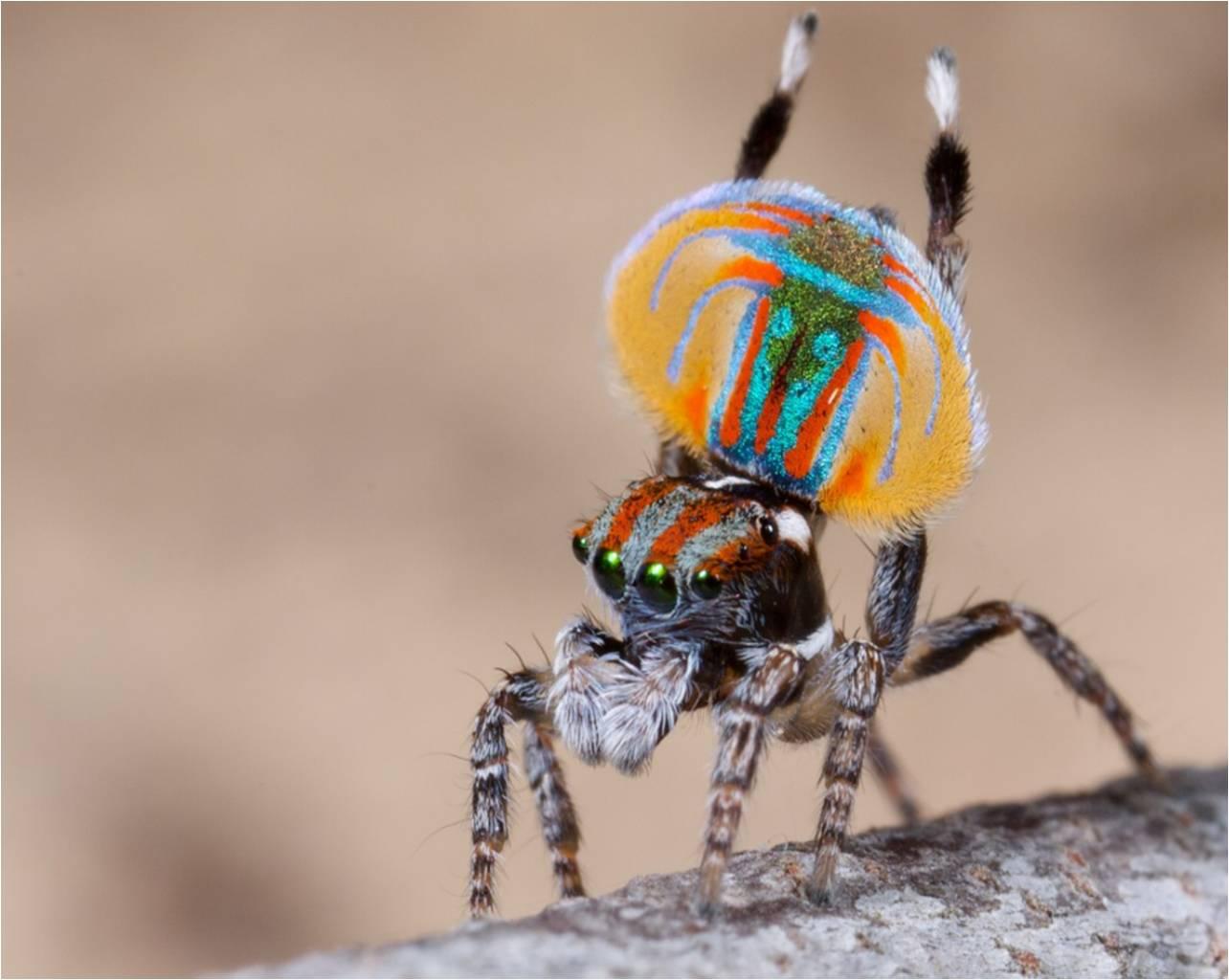 Peacock spider dance - photo#22
