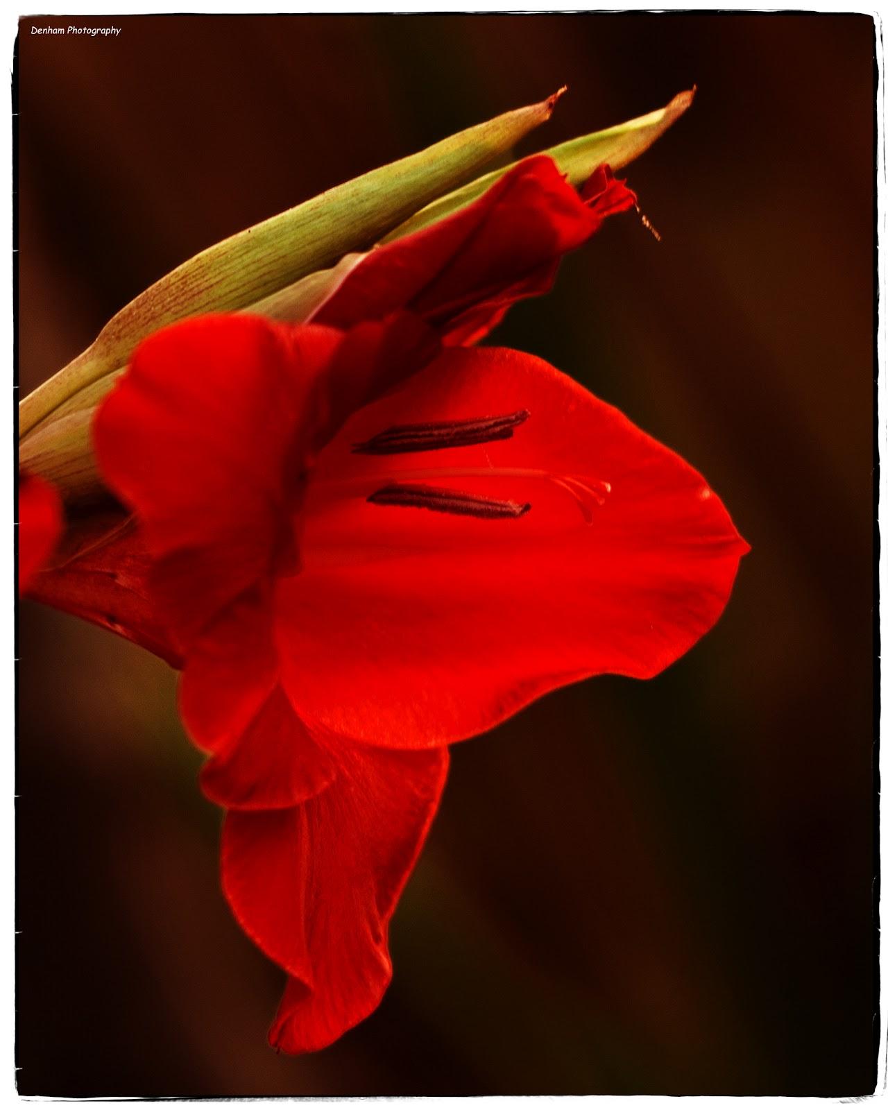 Denham Photography Red Iris Tijuana Sunrise
