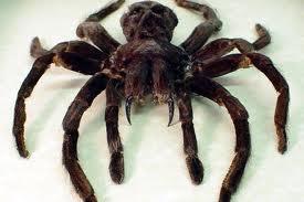 Biggest-Spider-in-the-World-7