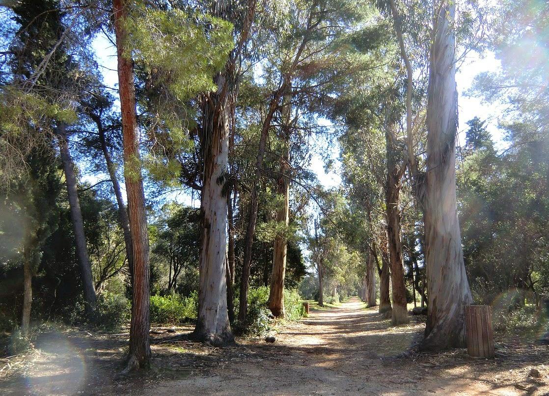 The eucalyptus alley in Ile Ste-Marguerite