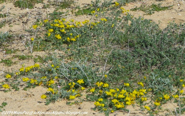 Algarve sand dune wildflowers