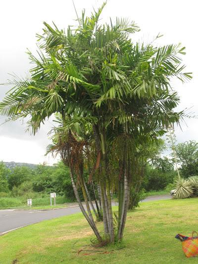 Palmier ptychosperma flore de l le de la r union for Entretien palmier exterieur