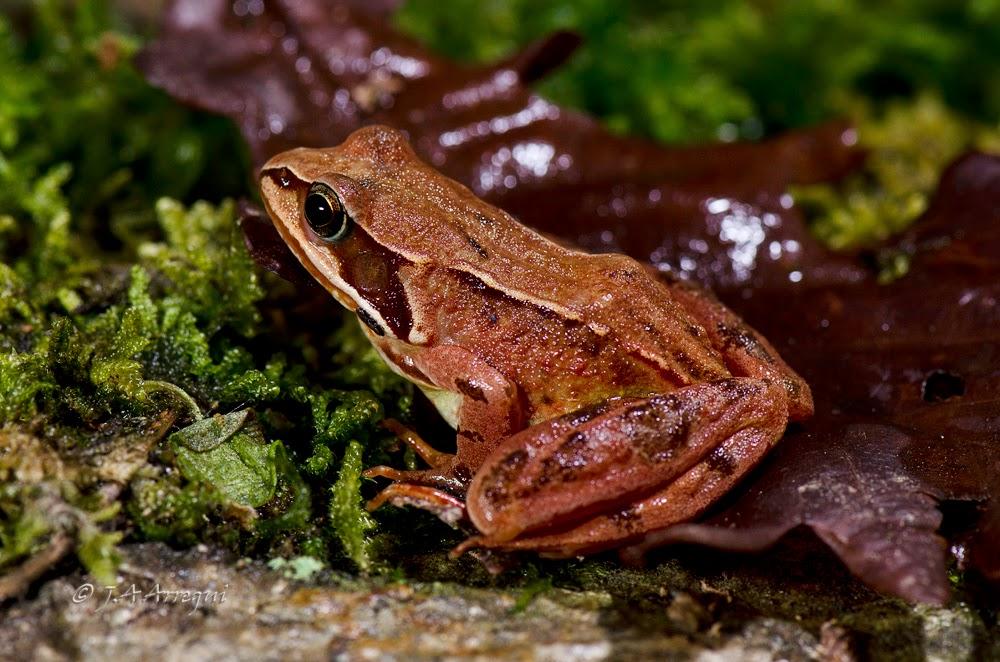 Rana bermeja, Rana temporaria, Common frog