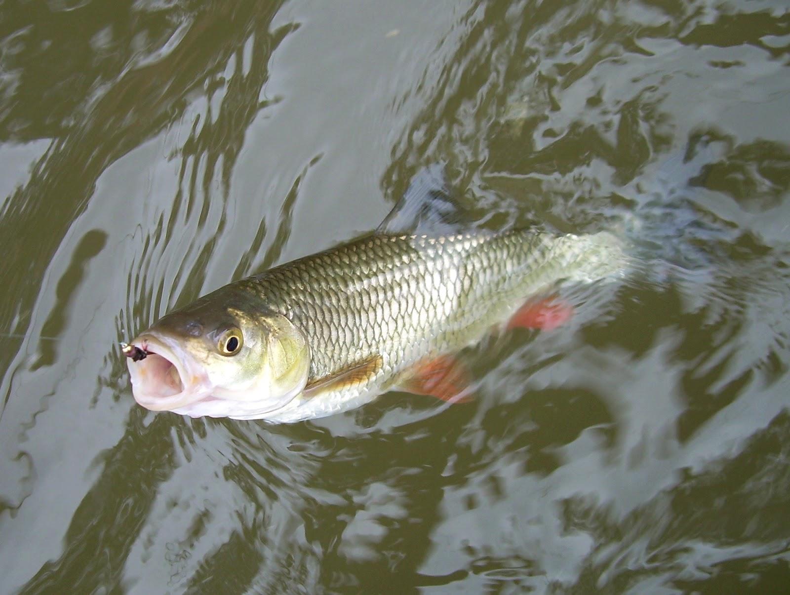 голавль рыба на что ловить