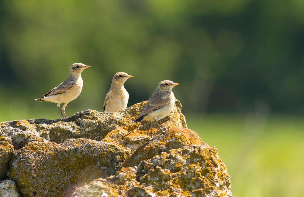 Isabelline Wheatear chicks in Bulgaria, copyright Iordan Hristov