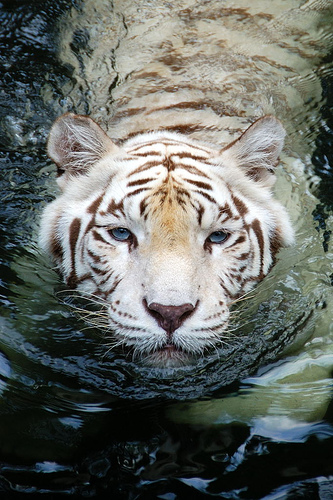 Amazing White Tiger Wallpaper ~ Wallpaper & Pictures