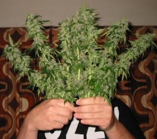 La marihuana no es dañina para los pulmones