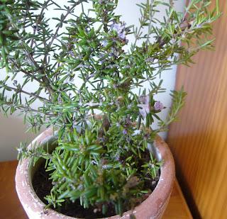 planta aromática romero
