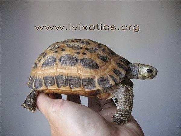 Pyxis arachnoides - Common spider tortoise