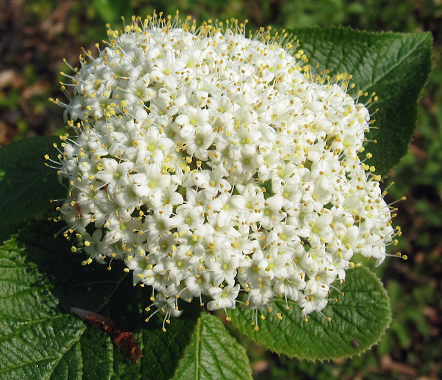 Wayfaring tree, Viburnum lantana, a small shrub flowering in High Elms Country Park.  25 April 2011.