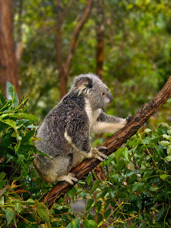 Koala, Currumbin Wildlife Sanctuary review, Gold Coast