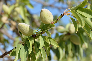 Almond tree in Cartagena, Spain