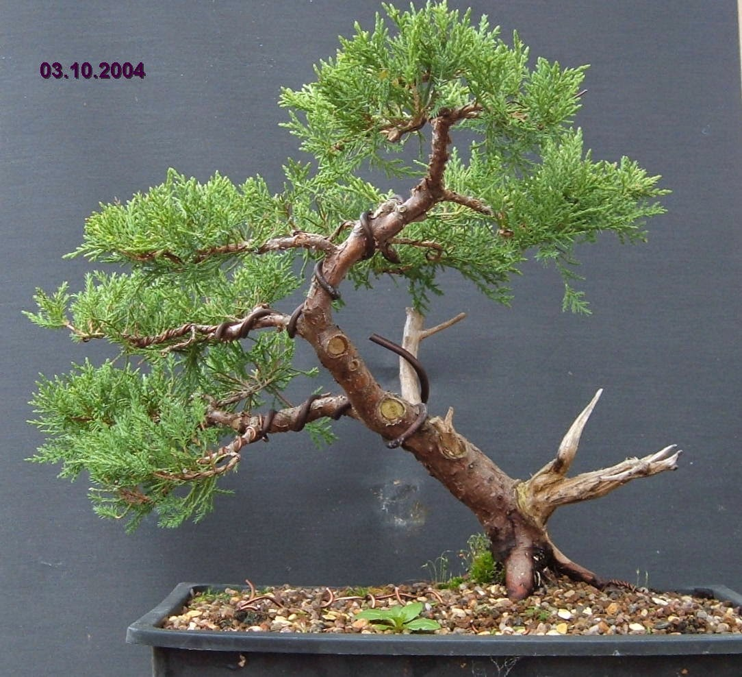 MiKo Bonsai Juniper Progression Photos