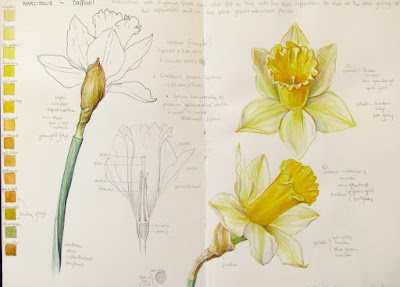 Sketchbook study of daffodil flowers by Shevaun Doherty
