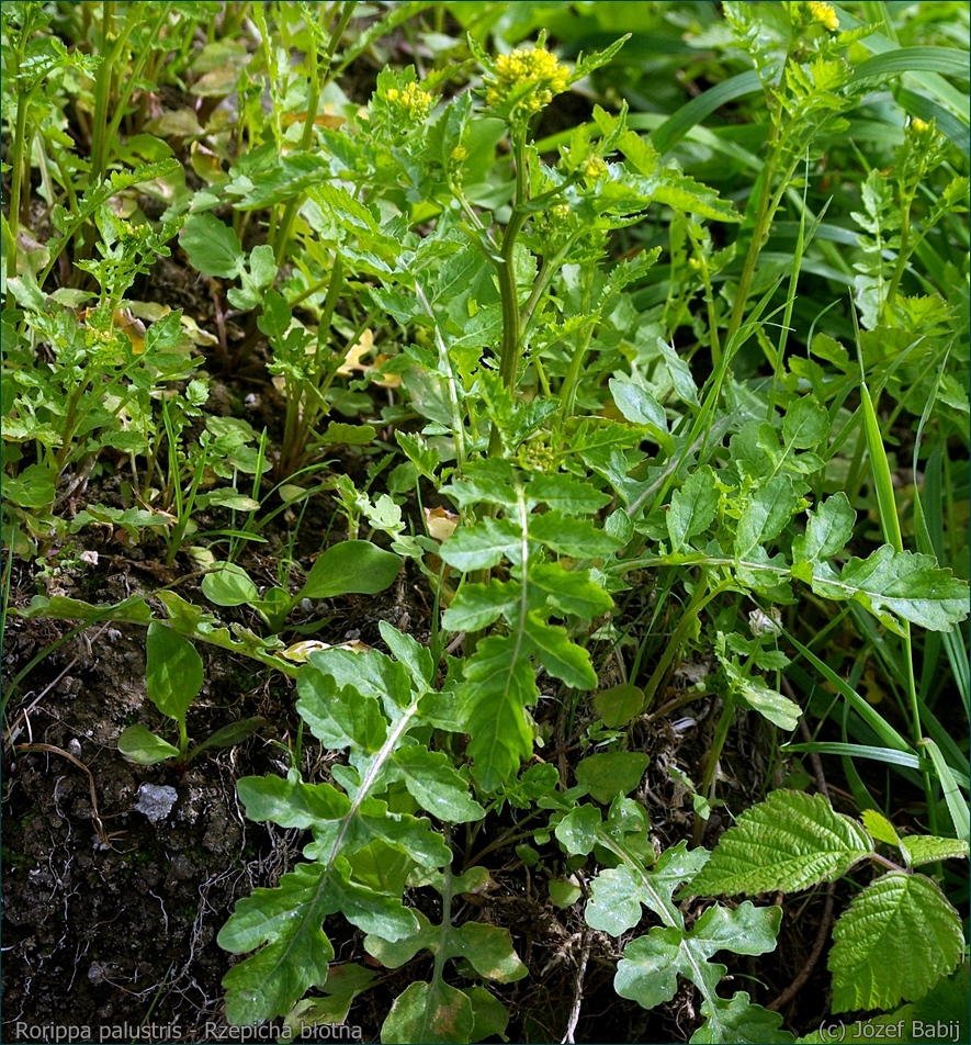 Rorippa palustris - Rzepicha błotna pokrój