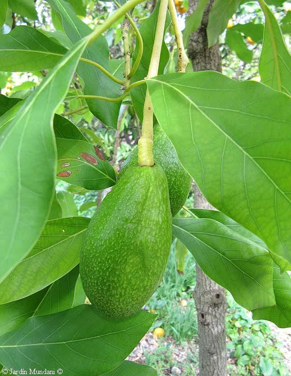 how to tell male avocado from female