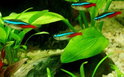 Neon Innesa - ryby akwariowe - zdjęcia 03