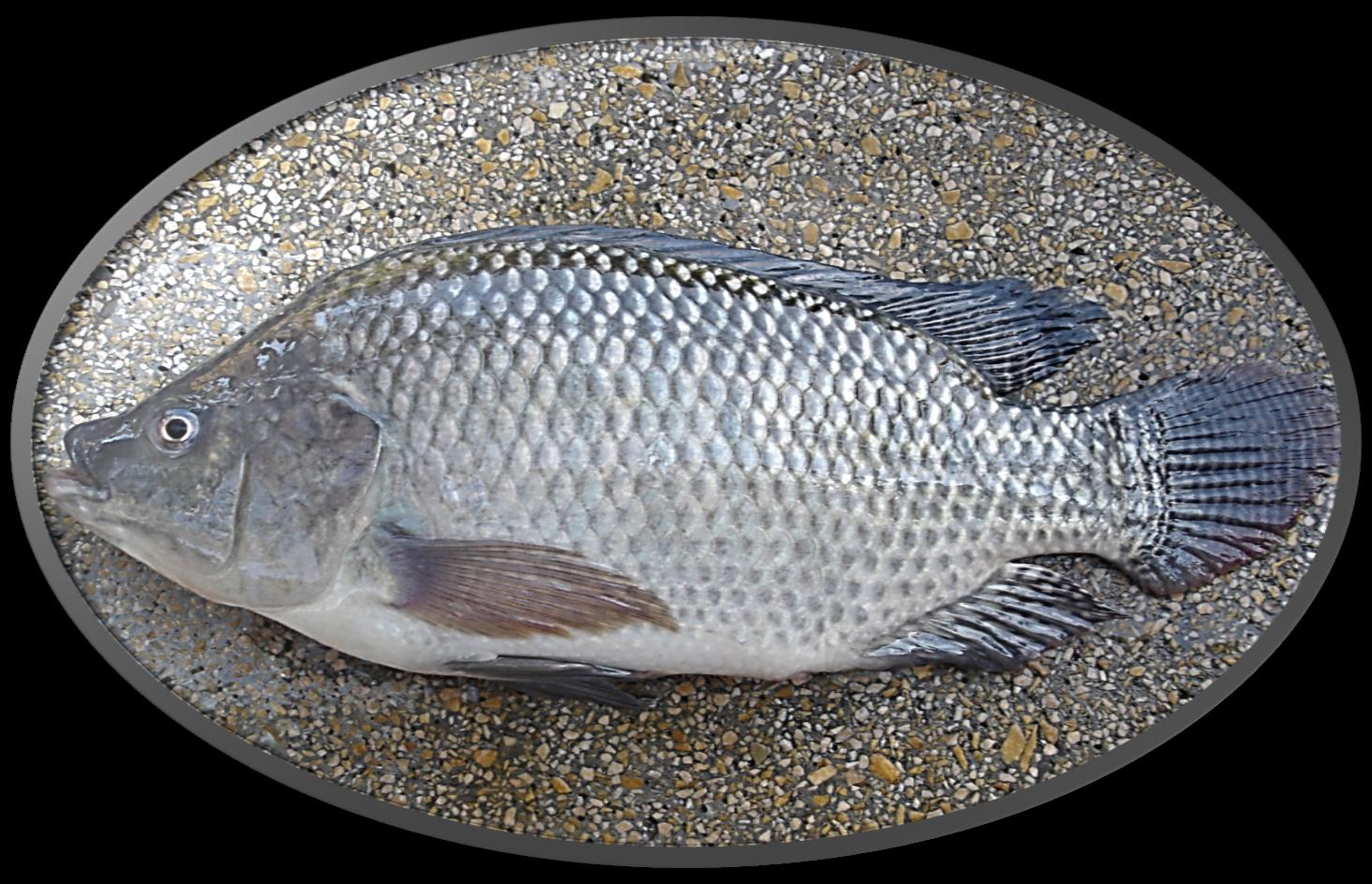 Cria peixe tilapicultura fotos pisciculturas for Cria de tilapia