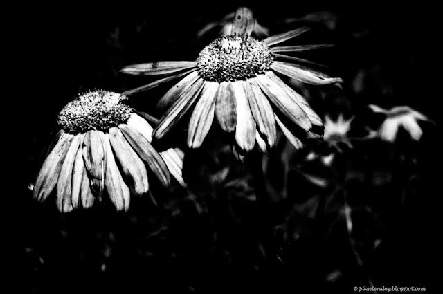 black and white photo, kwiaty, ogród, lato