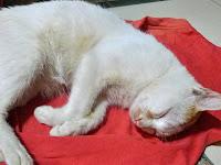 Cara Merawat Kucing Sakit yang Baik