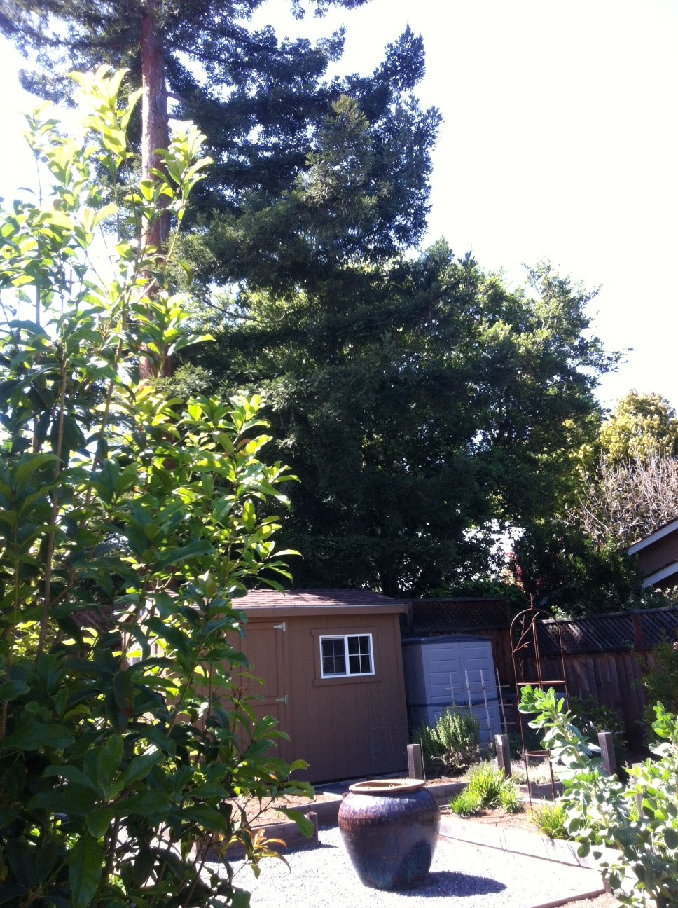Landscaping With Redwood Trees : Problems quot you say what
