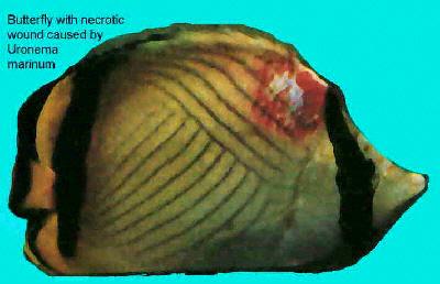 Fish n tips common saltwater fish diseases for Tropical fish diseases
