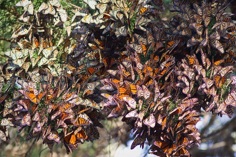 Maravillas de la naturaleza: Migración de las mariposas monarcas