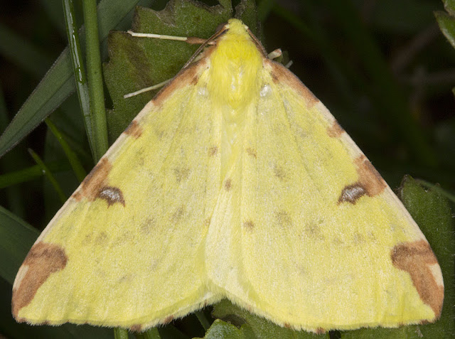 Brimstone Moth, Opisthograptis luteolata. Moth trap on West Wickham Common, 17 May 2012.