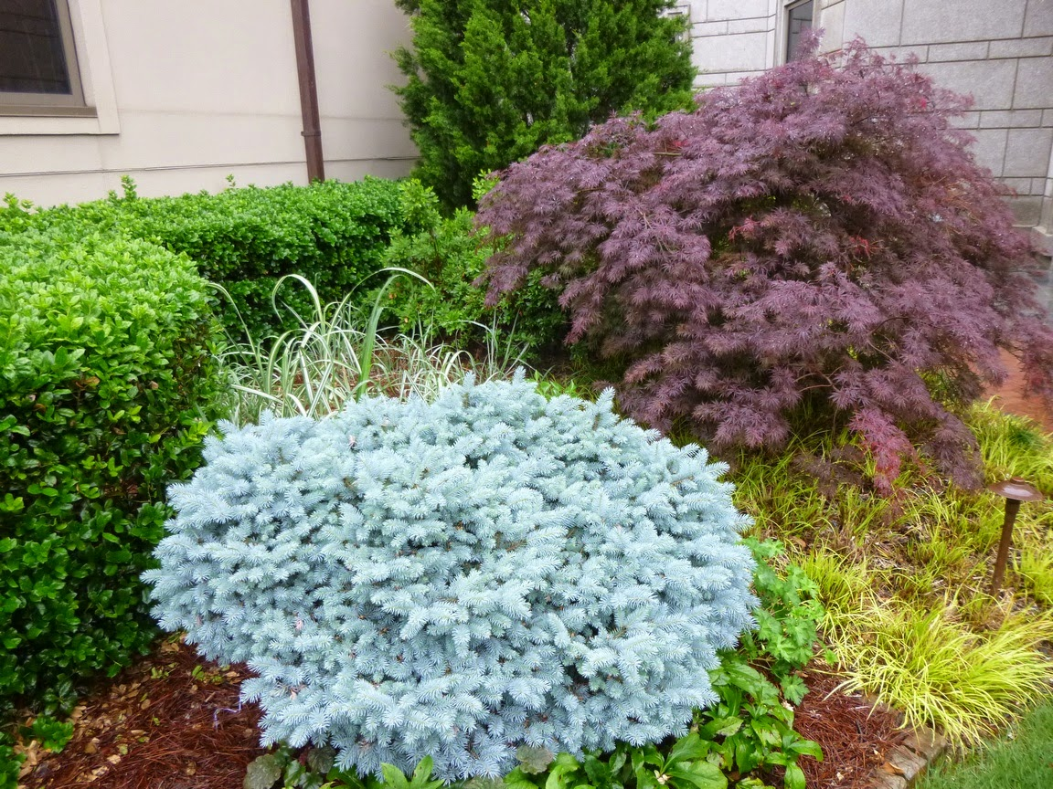 Decorative Blue Spruce : Garden of aaron atlanta trip report mandarin