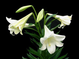 azucenas Azucenas blancas