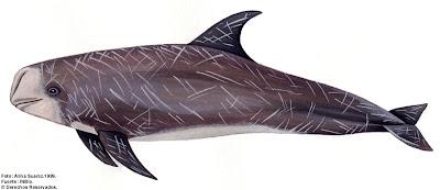 delfin de Risso Grampus griseus