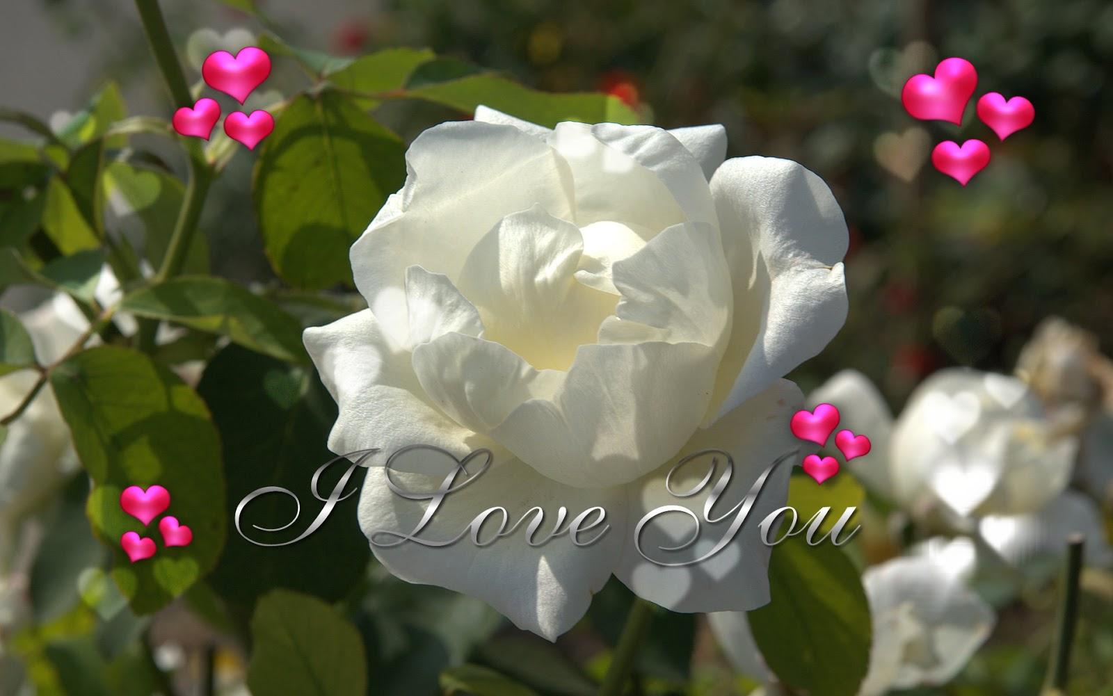 I Love U White Rose Flower Wallpaper