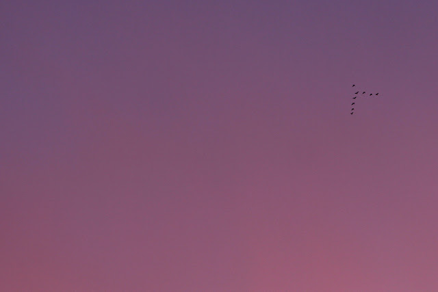 geese flying through an intense pink sky in August
