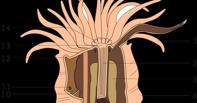 Partes de una anémona; anatomía