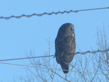 Great Grey Owl (Great Gray Owl) from my living room window.